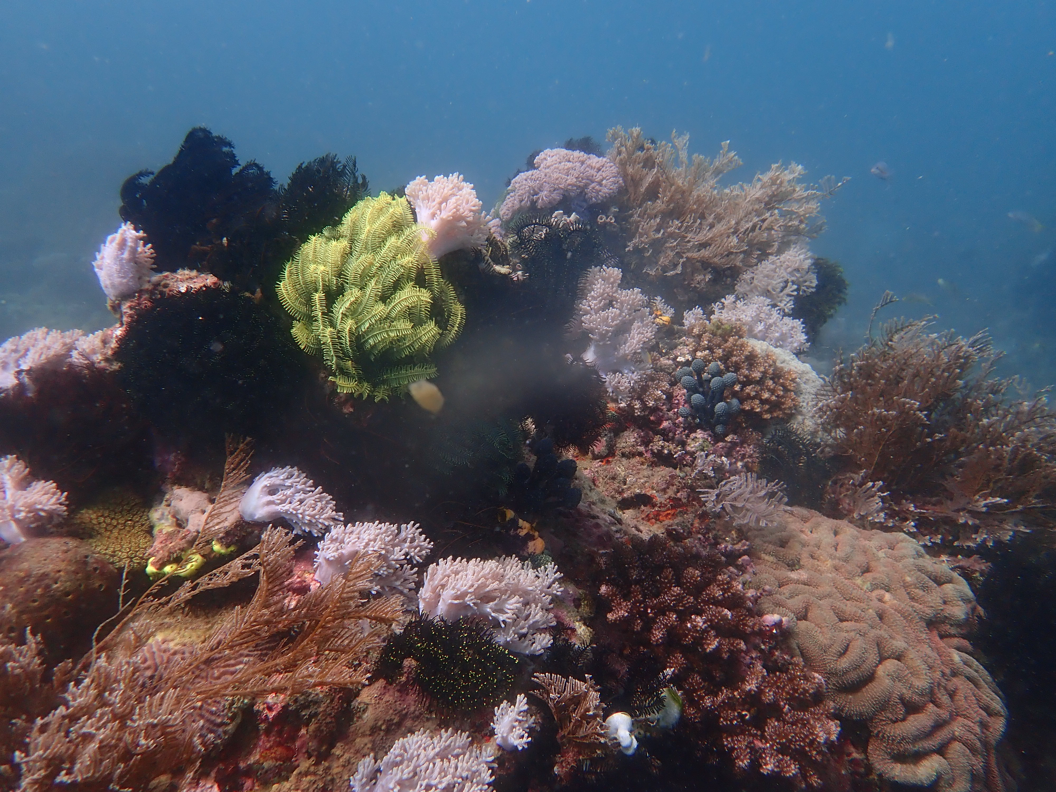 Live corals in Puerto Galera. Photography by Pedro Magsino of Arkipelago Divers